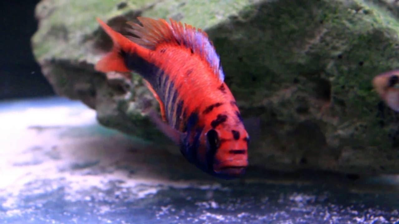 African Cichlids Breeding Beautiful Freshwater Aquarium Fish Youtube