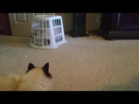 Birman Cat Escapes Horrible Laundry Basket Jail