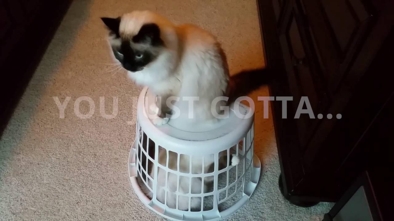 birman cat escapes horrible laundry basket jail youtube