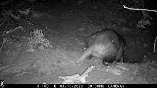 APRIL: Badger digging sett entrance