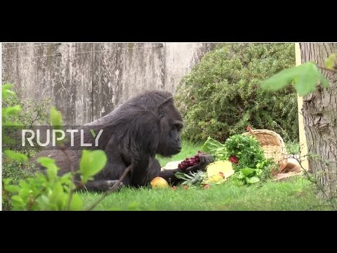 Germany: Europe's oldest gorilla celebrates her 60th at Berlin Zoo