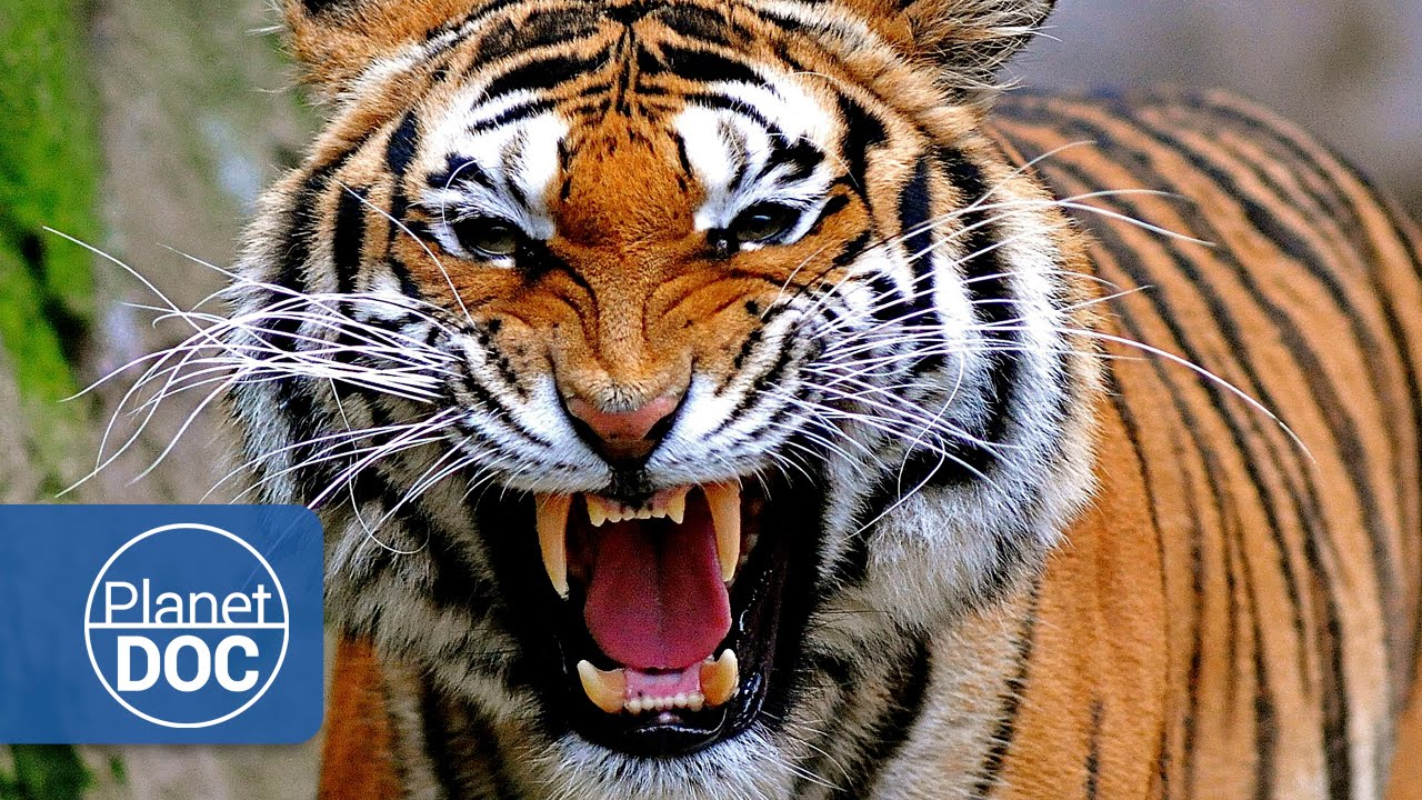 Tigres Y Hombres Guerra Mortal Documental En Español Youtube