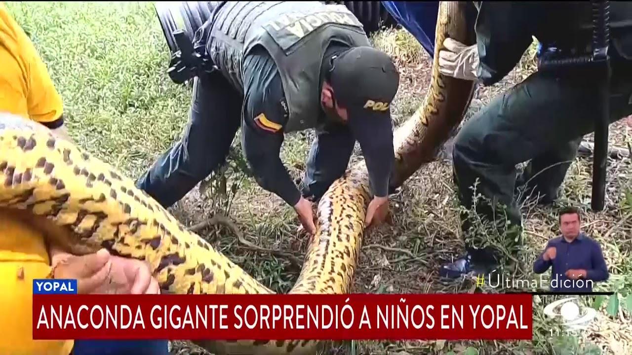 ANACONDA GIGANTE SORPRENDIÓ A NIÑOS EN YOPAL