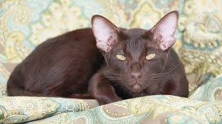 Роды ориентальной кошки!
