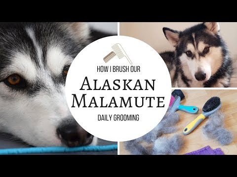 How I Groom Our Dog | Alaskan Malamute