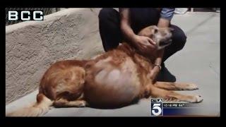 Cảm động cứu chữa chú chó khối u 21 kg