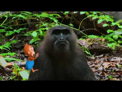Bermain Dengan Kawanan Monyet Ekor Pendek   Si Otan (05/12/18)
