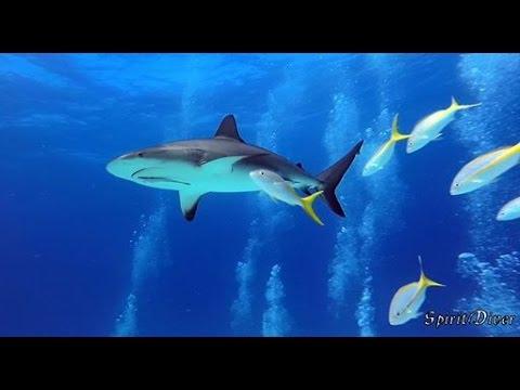 BAHAMAS diving  WRECK & SHARKS - SpiritDiver HD - XIAOMI YI II 4K Underwater