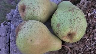 обзор сорта зимней груши Ноябрьская   первый урожай