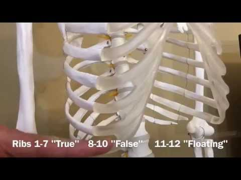 Ribs: True, False & Floating - Biology 101 Mondays