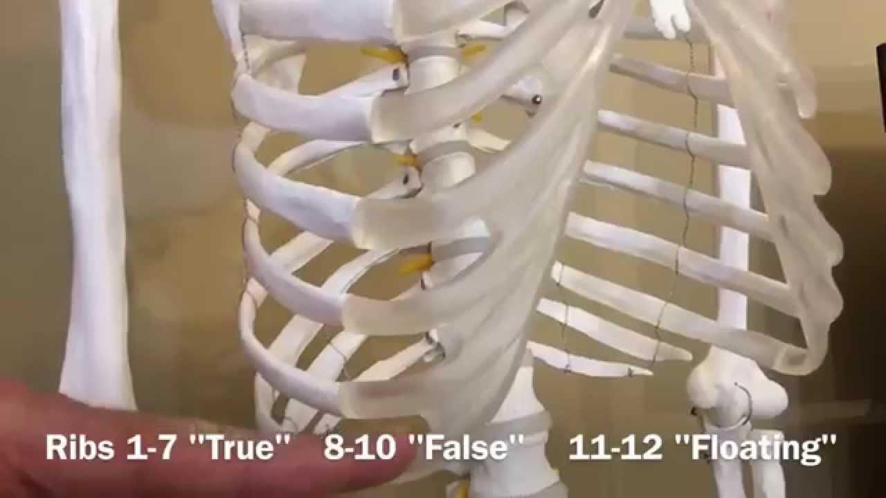 Ribs: True, False & Floating - Biology 101 Mondays - YouTube