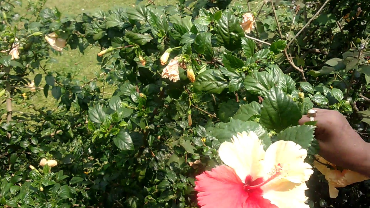 Miracle Red Hibiscus Flower In White Hibiscus Tree Youtube