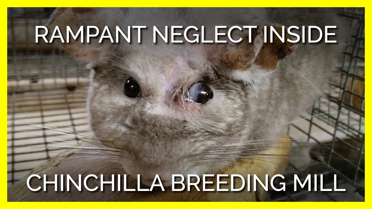Rampant Neglect and Severe Injuries Uncovered Inside Chinchilla Breeding Mill