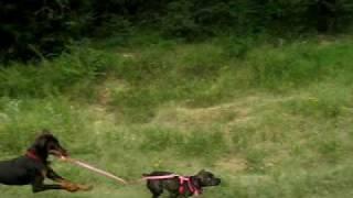 Doberman Puppy Walking A Pit/dachshund Mix Puppy