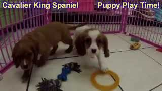 Cavalier King Charles Spaniel, Puppies For Sale, In Atlanta, Georgia, Ga,savannah