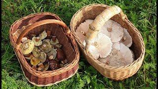 гРИБЫ ЗОНТИКИ И СУПЕР РЕЦЕПТ ПРИГОТОВЛЕНИЯ ! Польские грибы в августе ! Грибы 2019 !