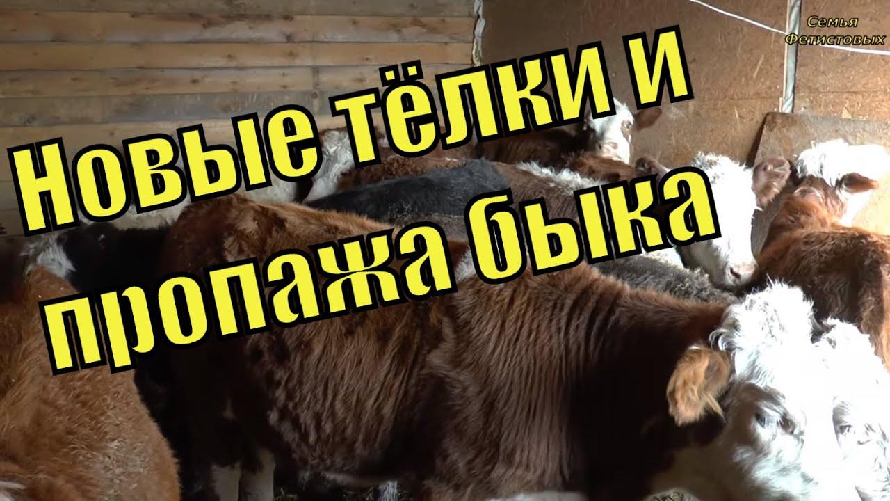 как собирают семя у быков видео