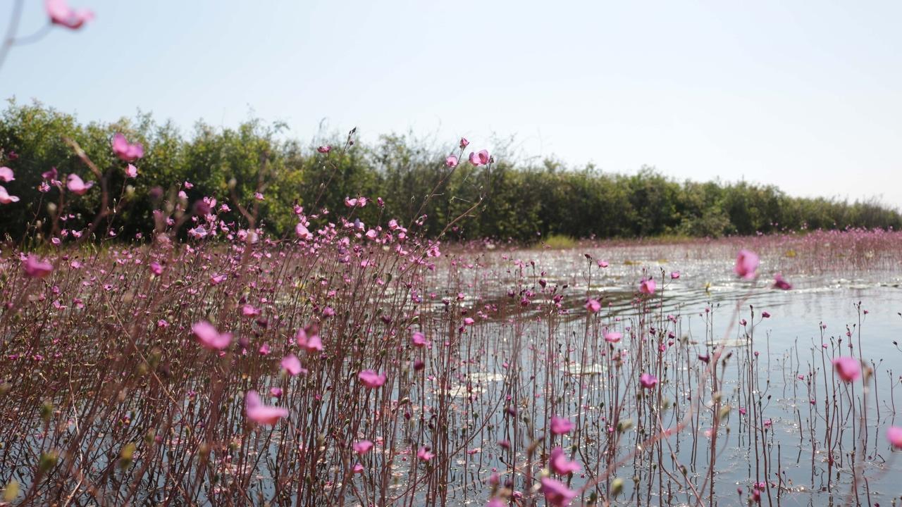 Hành trình ngắm hoa nhĩ cán tím – Tràm Chim – Du lịch Đồng Tháp