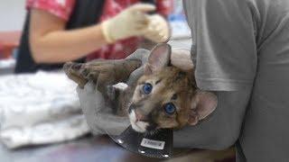 Снимаем швы котёнку пумы