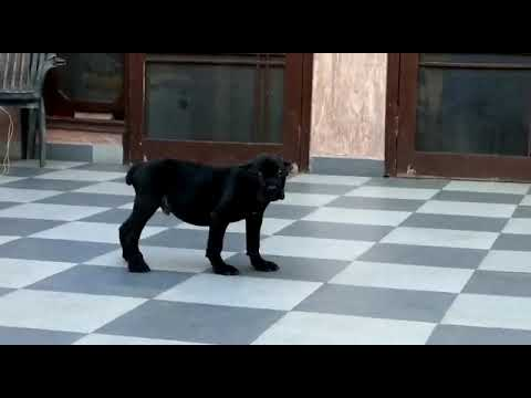 cane-corso-pups-available-in-delhi-mumbai-bangloare-chennai-goa.-kerala-pondicherry-hyderabad