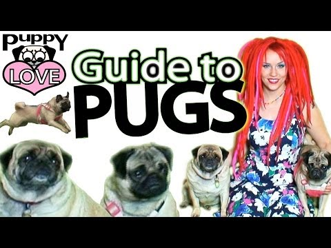 Puppy Love: Guide to Pugs ~ Pug Care 101 ~ Tina Tiainen TV