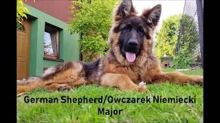 German Shepherd - 1 to 6 months/Owczarek Niemiecki - 1 do 6 miesięcy