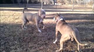 King Leonidus Meets Nala; Xl Ripped Mugleston's Female With Super Structure, Xl Bully Pitbull