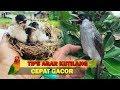 Trik Jitu Merawat Burung Kutilang Agar Cepat Gacor  Mp3 - Mp4 Download