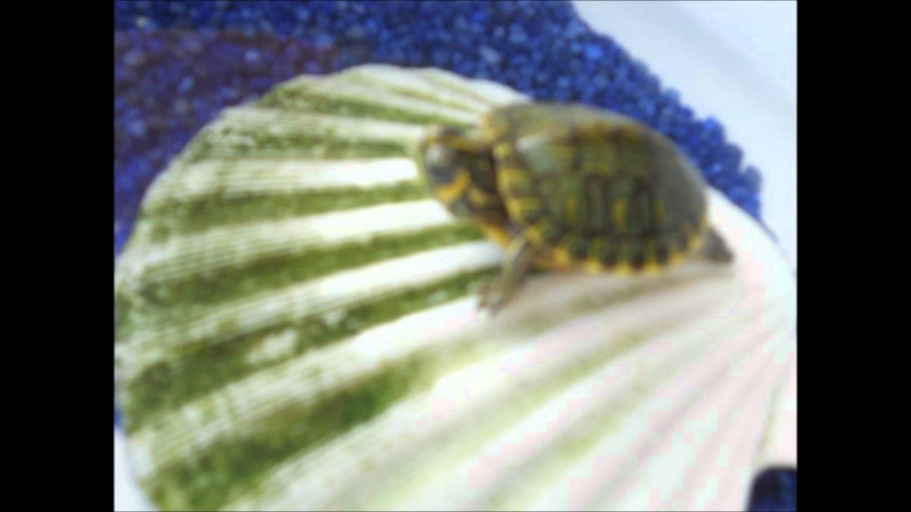 Informazioni e vita in cattività delle tartarughe d'acqua dolce - YouTube