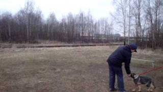 Обучение щенков немецкой овчарки (Часть 2)