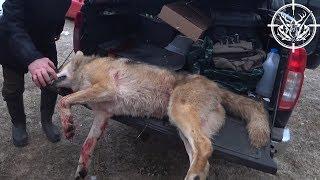 Охота #169 загонная на кабана, а добыли волка
