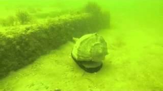 Glenn Lockwood Reef - Lightning Whelk
