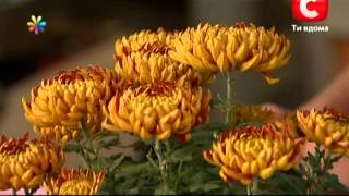 видео Хризантемы цветут в декабре. Chrysanthemums bloom in December
