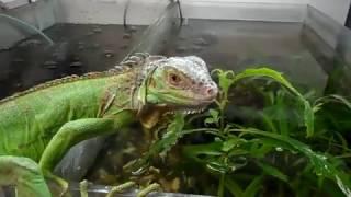 Игуана и аквариум