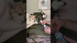 Mini Husky Proves Male Dogs Are MORE DRAMATIC Than Females When Getting Nails Cut