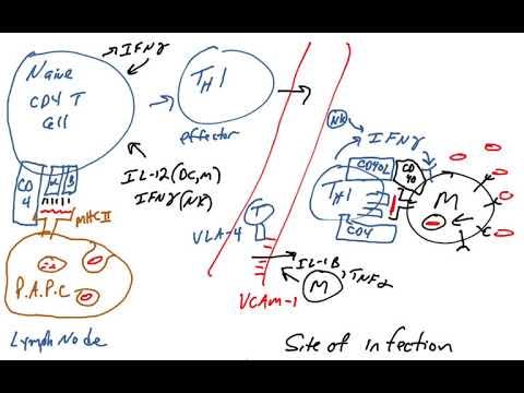 Th1 effector cells