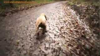 Bailey The Puppy Dog Walk. Cocker Spaniel Puppy.