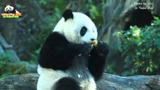 20160213圓仔陽光美少女寫真秀 The Giant Panda Yuan Zai