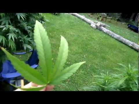 Ethiopian Weed marijuana in shashamane