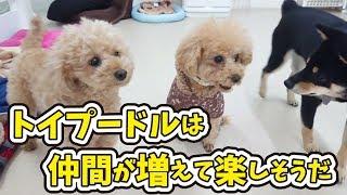 犬のひみつきちホームページ http://www.dogs-base.com/ める『トイプー...