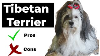Tibetan Terrier pros and cons   The Good AND Bad of owing Tibetan