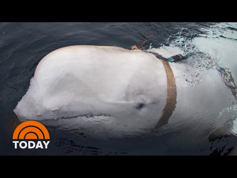 Weaponized Whale? Beluga May Have Been Trained By Russians | TODAY