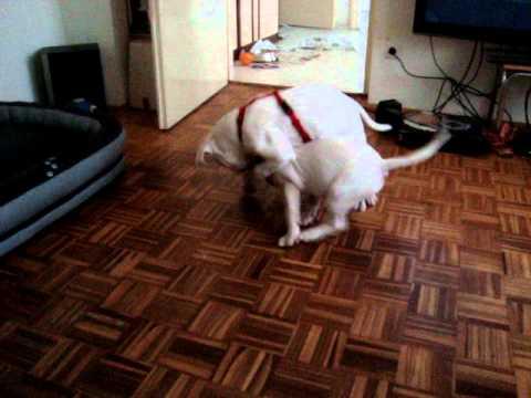 English Bullterrier Vs American Bulldog