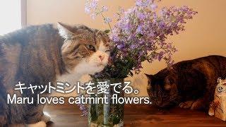 キャットミントを愛でるねこ-maru-loves-catmint-flowers