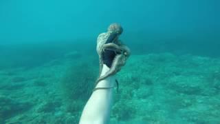 Catching Octopus by hand in Mallorca - La captura de pulpo a mano en Mallorca