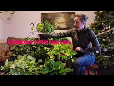 Pothos, Philodendron, Scindapsus 101 | + Bloopers