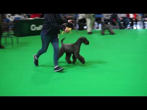Kerry Blue Terriers on Crufts 2020