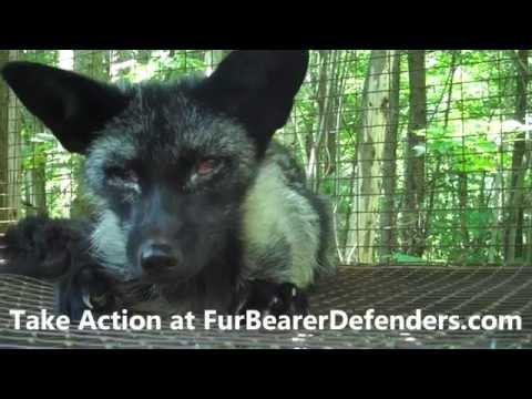 Montreal SPCA investigates Quebec Fur Farm