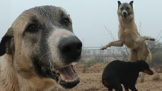 Kangal Vs. Doberman - Who Is Stronger?