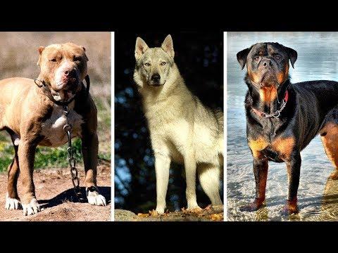 Os 7 Cães Mais Proibidos E Perigosos Do Mundo
